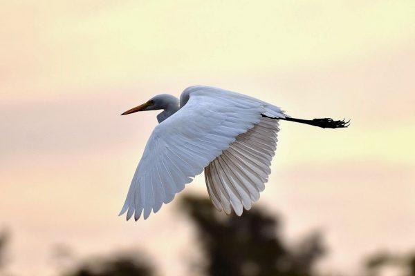 11. Egret