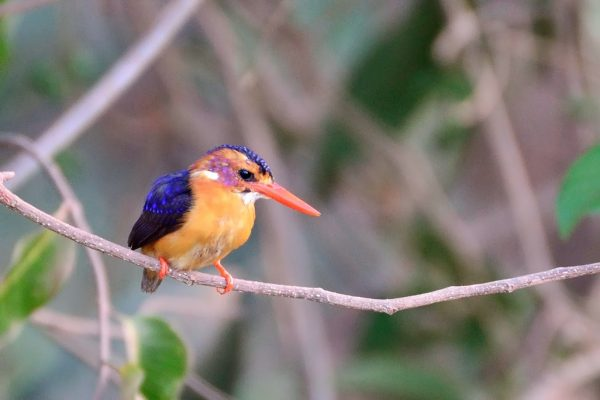 African pygmy kingfisher3